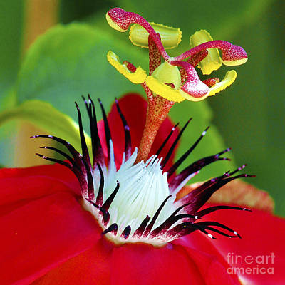 Red Passion Flower Art Print by Karen Anderson