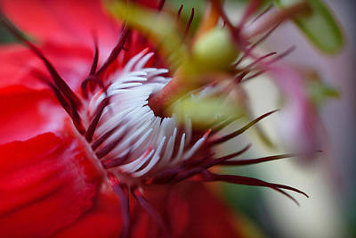 Photograph - Red Passion Flower Stamens by TK Goforth