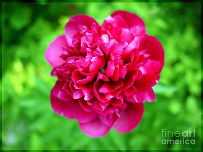 Red Peony Flower Art Print by Edward Fielding