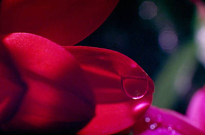 Photograph - Red Petal by Mark Greenberg
