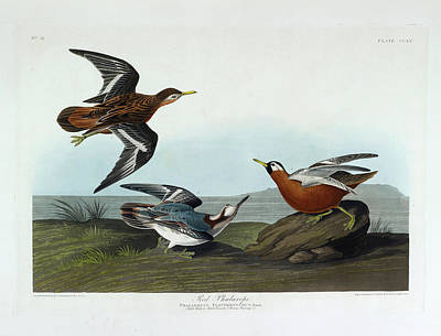 The Birds Photograph - Red Phalarope by British Library