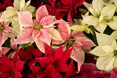 Photograph - Red Pink And White Poinsettias by Chris Scroggins
