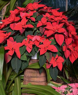 Red Poinsettia Art Print by Kathleen Struckle