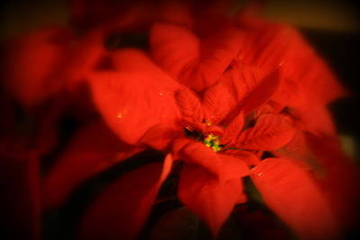 Photograph - Red Poinsettia by Kay Novy