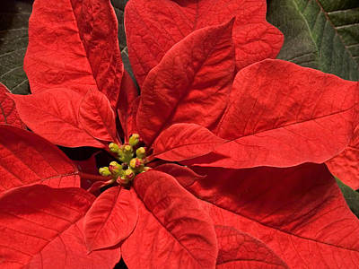 Photograph - Red Poinsettia Plant For Christmas by Jane McIlroy