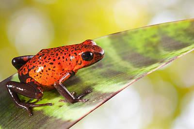 Red Poison Frog Original by Dirk Ercken