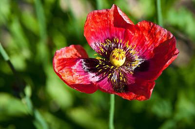 Wild Red Poppy Bloom Original by Mark Weaver