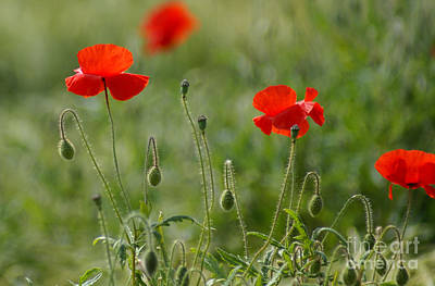 Flower Photograph - Red Poppies 2 by Carol Lynch