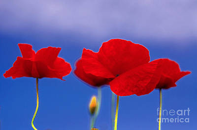 Flowers Photograph - Red Poppies Against Blue Sky by Gry Thunes