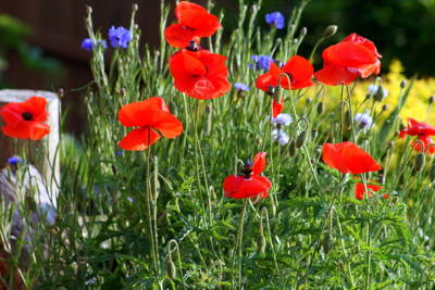 Photograph - Red Poppies And Blue Corn Flowers by Kay Novy