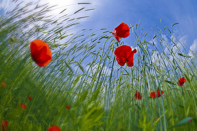 Red Poppies And Blue Sky Art Print by Melanie Viola