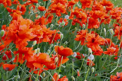 Dandelion Digital Art - Red Poppies II by David Simons