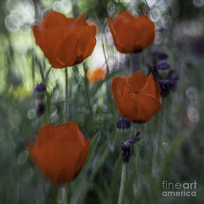 Red Poppies Art Print by Jean OKeeffe Macro Abundance Art
