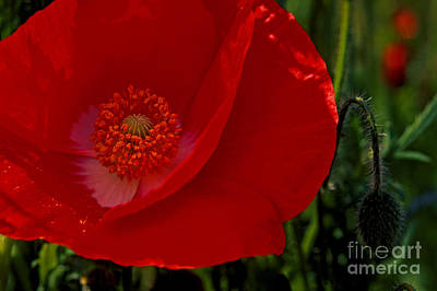 Photograph - Red Poppies  by Paul W Faust -  Impressions of Light