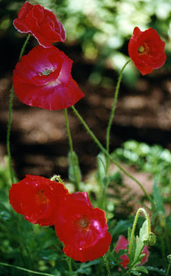 Photograph - Red Poppies by Robert Lozen