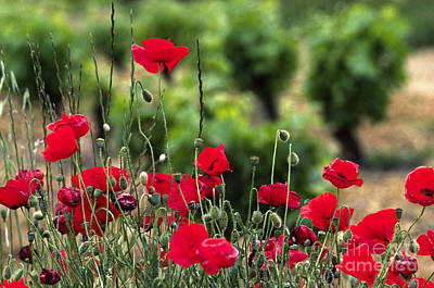 Photograph - Red Poppies Spain by Craig Lovell