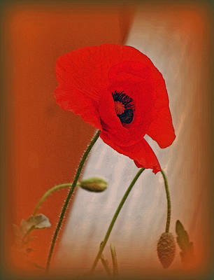Photograph - Red Poppy And Buds by Kay Novy