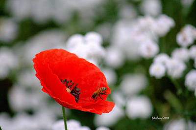Photograph - Red Poppy And The Bee by Jale Fancey