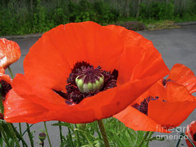 Art Print featuring the photograph Red Poppy by Barbara Griffin