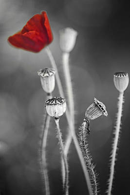 Red Poppy  Art Print by Dirk Ercken