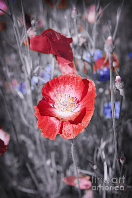 One Single Pink Poppy Flower Photograph - Red Poppy Flower by Elena Elisseeva