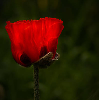 Photograph - Red Poppy On Dark Background by Jean Noren