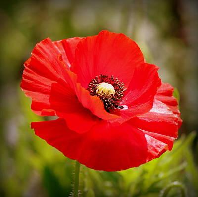 Red Poppy Power Original by Rosanne Jordan