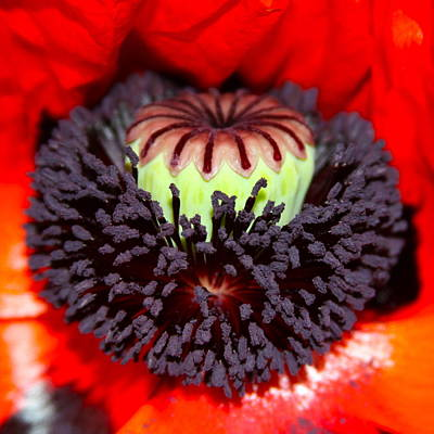 Photograph - Red Poppy Purple Magic by Karon Melillo DeVega