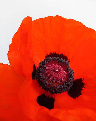Red Poppy Art Print by Ramona Johnston