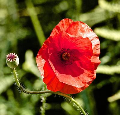 Giuseppe Cristiano - Red Poppy by Sean Foreman