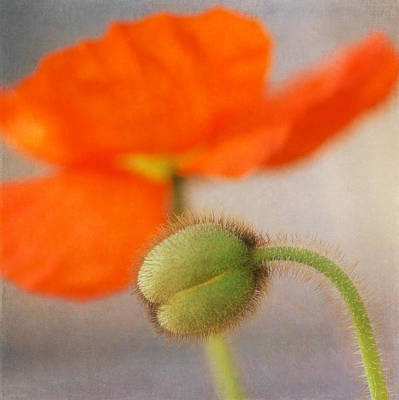 Photograph - Red Poppy Squared by Fraida Gutovich