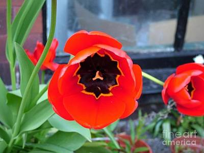 Photograph - Red Poppy Tulip By The Cellar Window by Joan-Violet Stretch