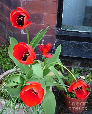 Photograph - Red Poppy Tulips Against The Cellar Window  2 by Joan-Violet Stretch