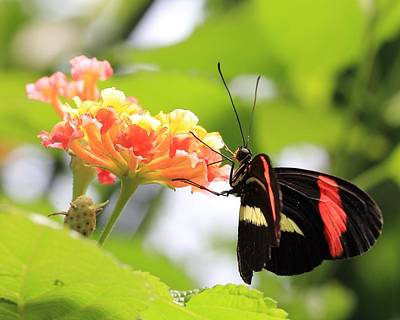 Photograph - Red Postman Butterfly by Angela Murdock