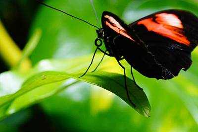 Photograph - Red Postman Butterfly On Leaf by Mike Murdock