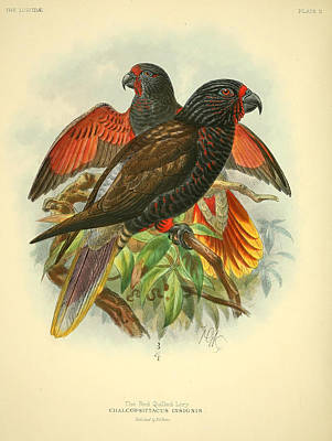 Coulor Painting - Red Quilled Lory by Rob Dreyer