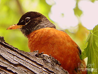 Photograph - Red Red Robin II by Bobbee Rickard