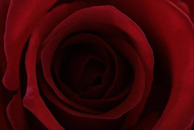 Print featuring the photograph Red Red Rose by Keith Hawley