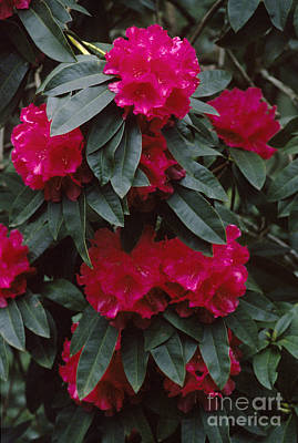 Photograph - Red Rhodedendrons by Craig Lovell