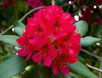 Photograph - Red Rhododendron by David Freuthal