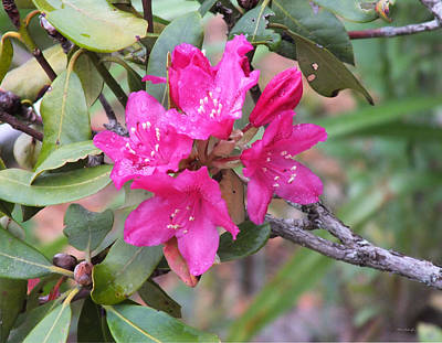 Photograph - Red Rhododendron Flowers 2 by Duane McCullough