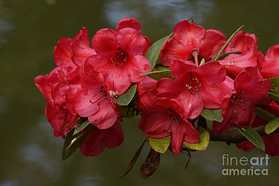 Photograph - Red Rhododendron by Inge Riis McDonald