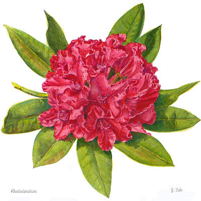 Painting - Red Rhododendron  by Janet  Zeh