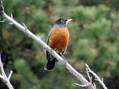 Photograph - Red Robin II by Tikvah's Hope
