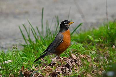 Photograph - Red Robin by Tikvah's Hope