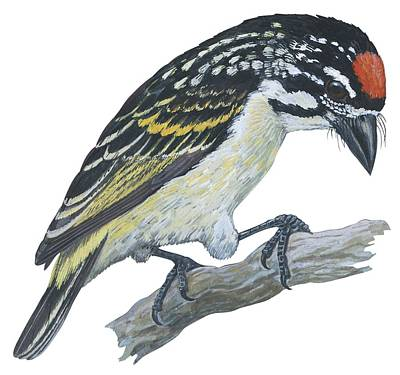 Nature Medicine Painting - Red Ronted Tinkerbird by Anonymous
