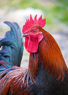 Photograph - Red Rooster by Nicholas Blackwell