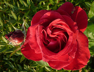 Photograph - Red Rose And Bud by Baato