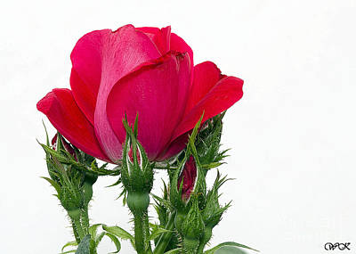 Photograph - Red Rose And Buds by Wanda Krack