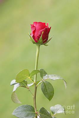 Red Rose Bud 1 Print by Carol Lynch